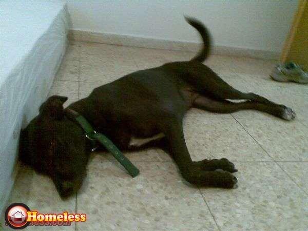 כלבים - לברדור רטריבר