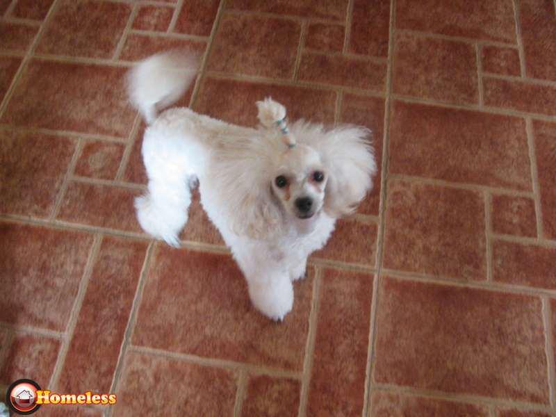 ברצינות פודל למכירה ברחובות, 3000 שח, מודעה 75870 | כלבים - לוח חיות מחמד GJ-32