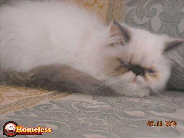 חתולים - הימליה