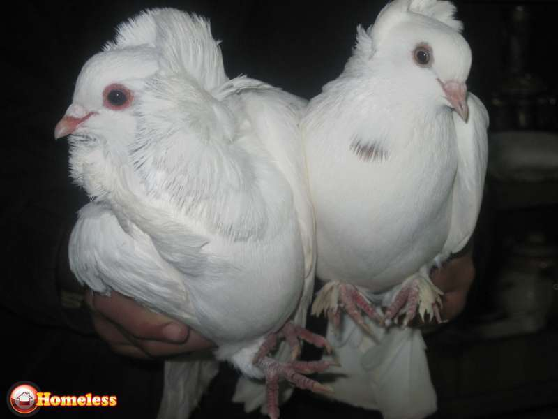 ציפורים - יונים