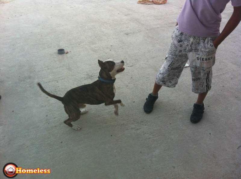 כלבים - בוקסר