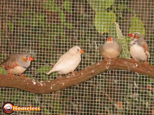 ציפורים - פינקים