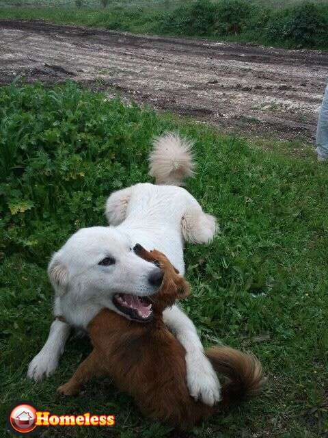 כלבים - הרים פירינאי