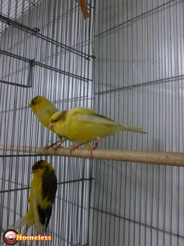 ציפורים - כנרים