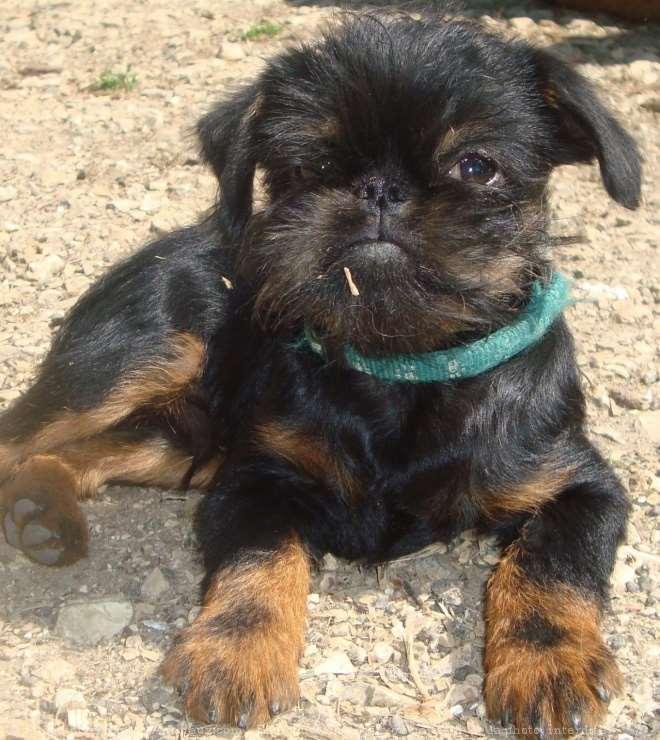כלבים - גריפון בריסלי