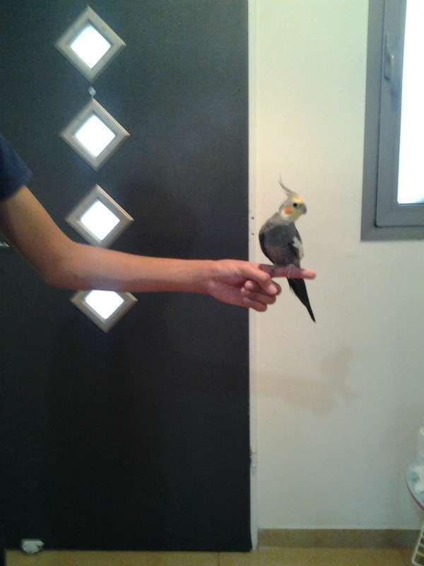 תמונה 1 ,תוכים ובעלי כנף קוקוטייל   הס למכירה בכפר יונה