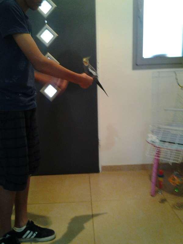 תמונה 2 ,תוכים ובעלי כנף קוקוטייל   הס למכירה בכפר יונה