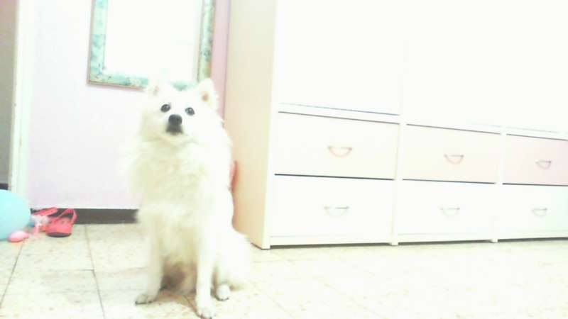 כלבים - שפיץ מעורב