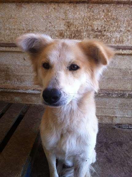 שונות גולדן רטריבר | כלבים | חיות מחמד הומלס KJ-72