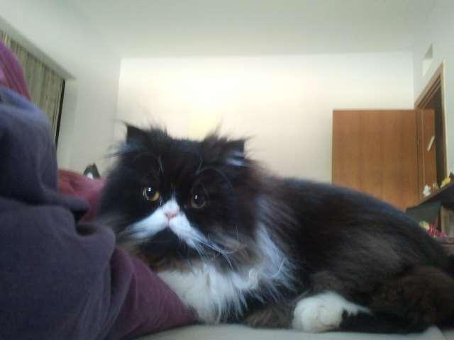 חתולים - פרסי