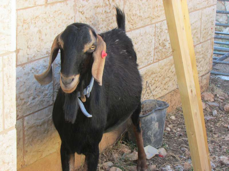 מגה וברק עיזים | חיות משק | חיות מחמד הומלס KF-65