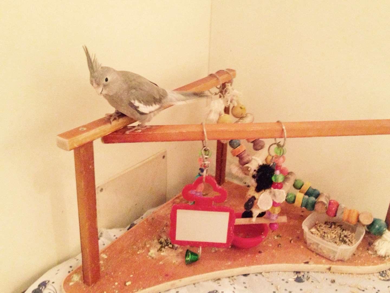 ציפורים - קוקטייל