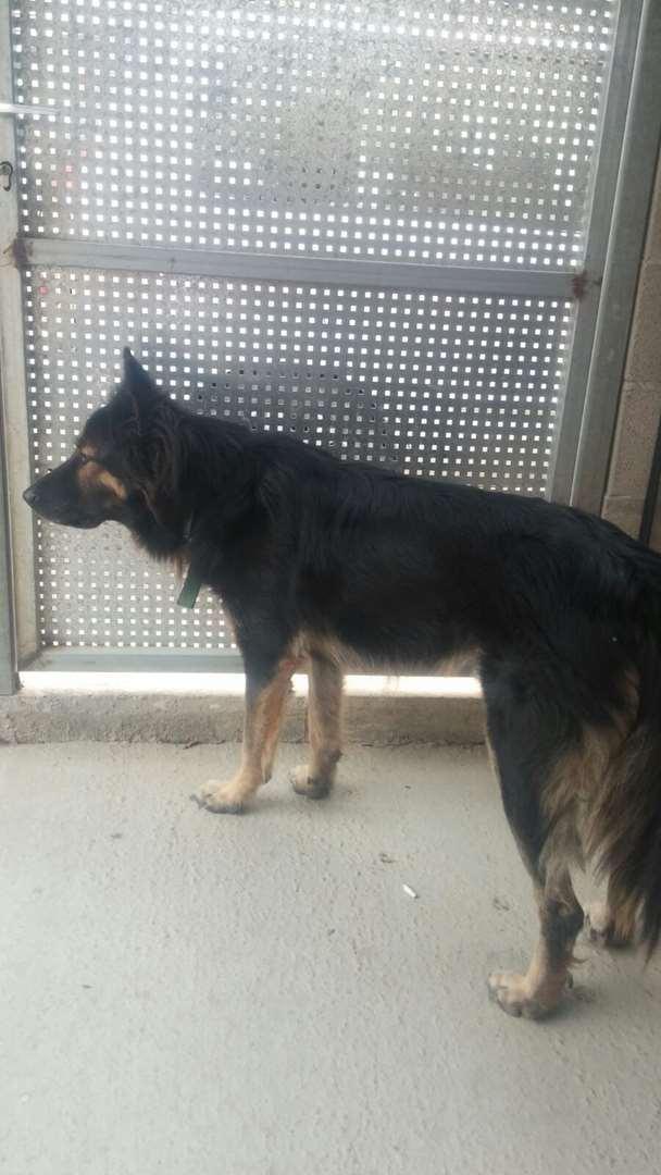 מעולה רועה גרמני למסירה בבאר שבע, מודעה 52136 | כלבים - לוח חיות מחמד UP-87