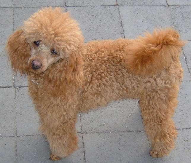 תמונה 4 ,כלבים אחר   גזעים קטנים למכירה בברקן