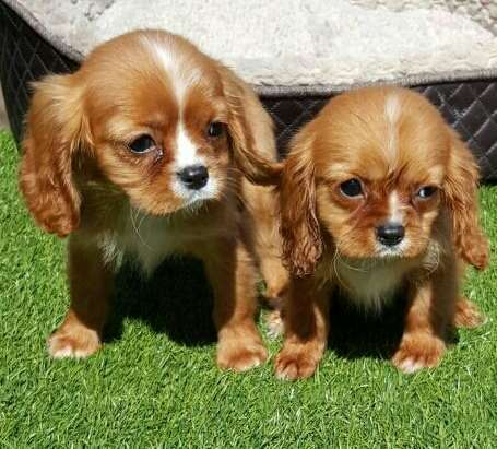 כלבים - קבליר קינג צארלס ספנייל