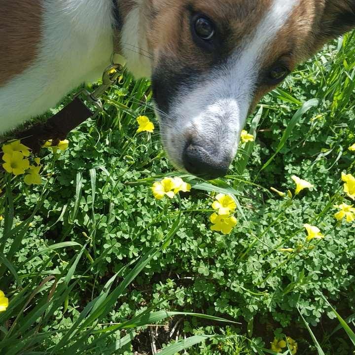 כלבים - כנעני