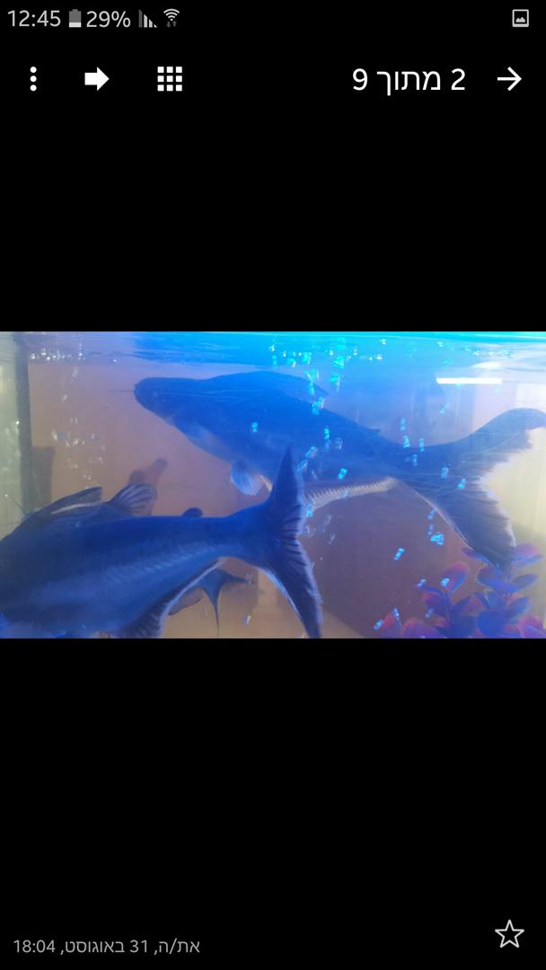 דגים - ציקלידים