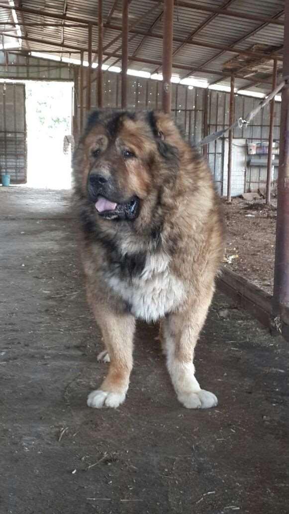 כלבים - רועה קאווקזי