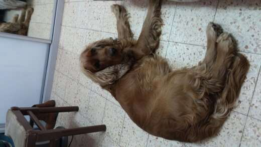 כלבים - קוקר ספנייל