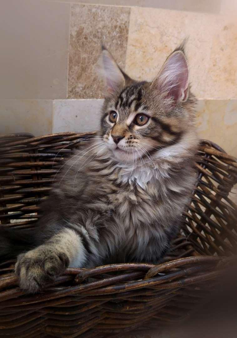 חתולים - מיין קון