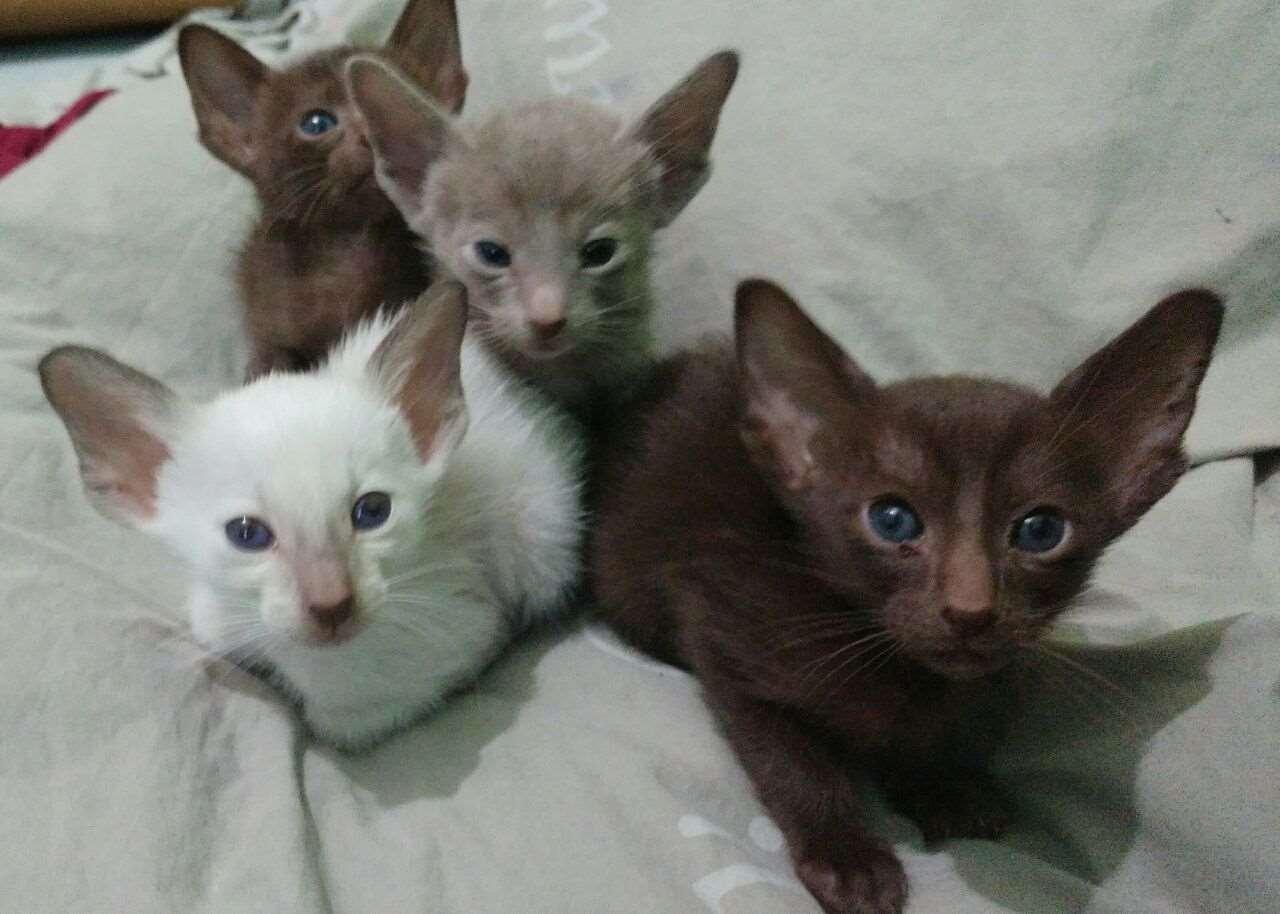 חתולים - אוריינטלי קצר שיער