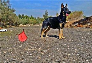 כלבים רועה גרמני תל אביב והמרכז