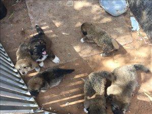 כלבים רועה קאווקזי