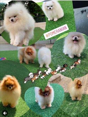 כלבים פומרניאן מודיעין והסביבה