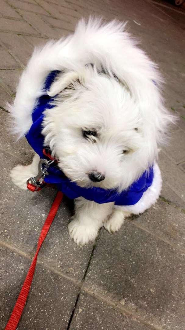 כלבים - מלטז