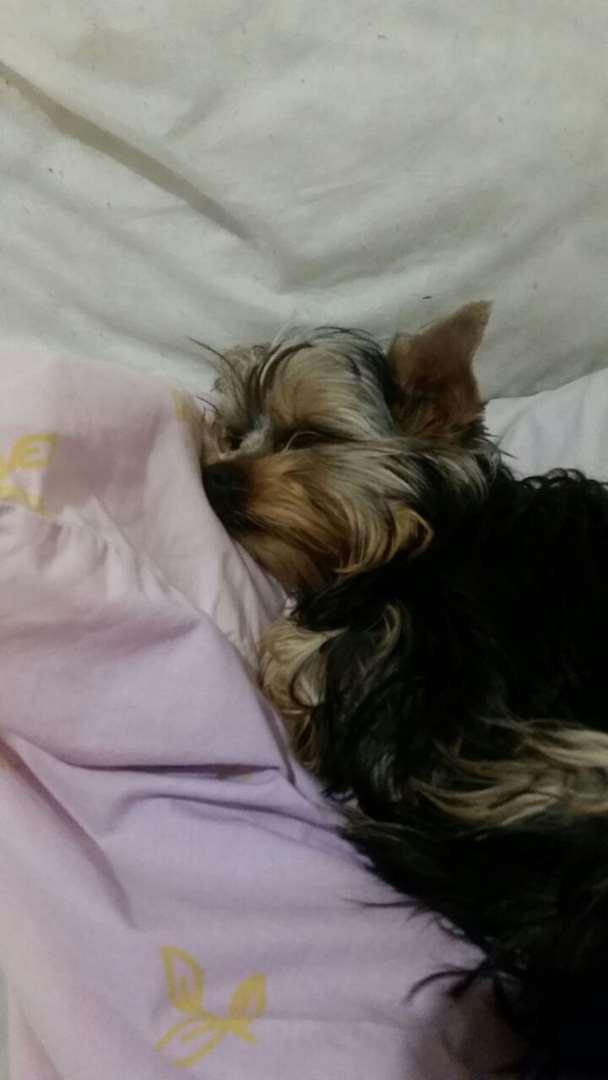 כלבים - יורקשייר טרייר