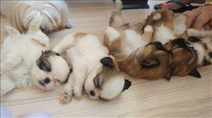 כלבים שי צו טבריה והצפון