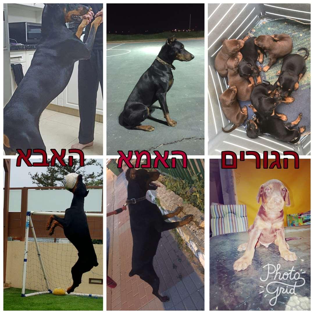 כלבים - דוברמן