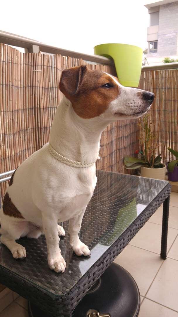תמונה 2 ,כלבים גק ראסל טרייר   ר לשידוך בנס ציונה