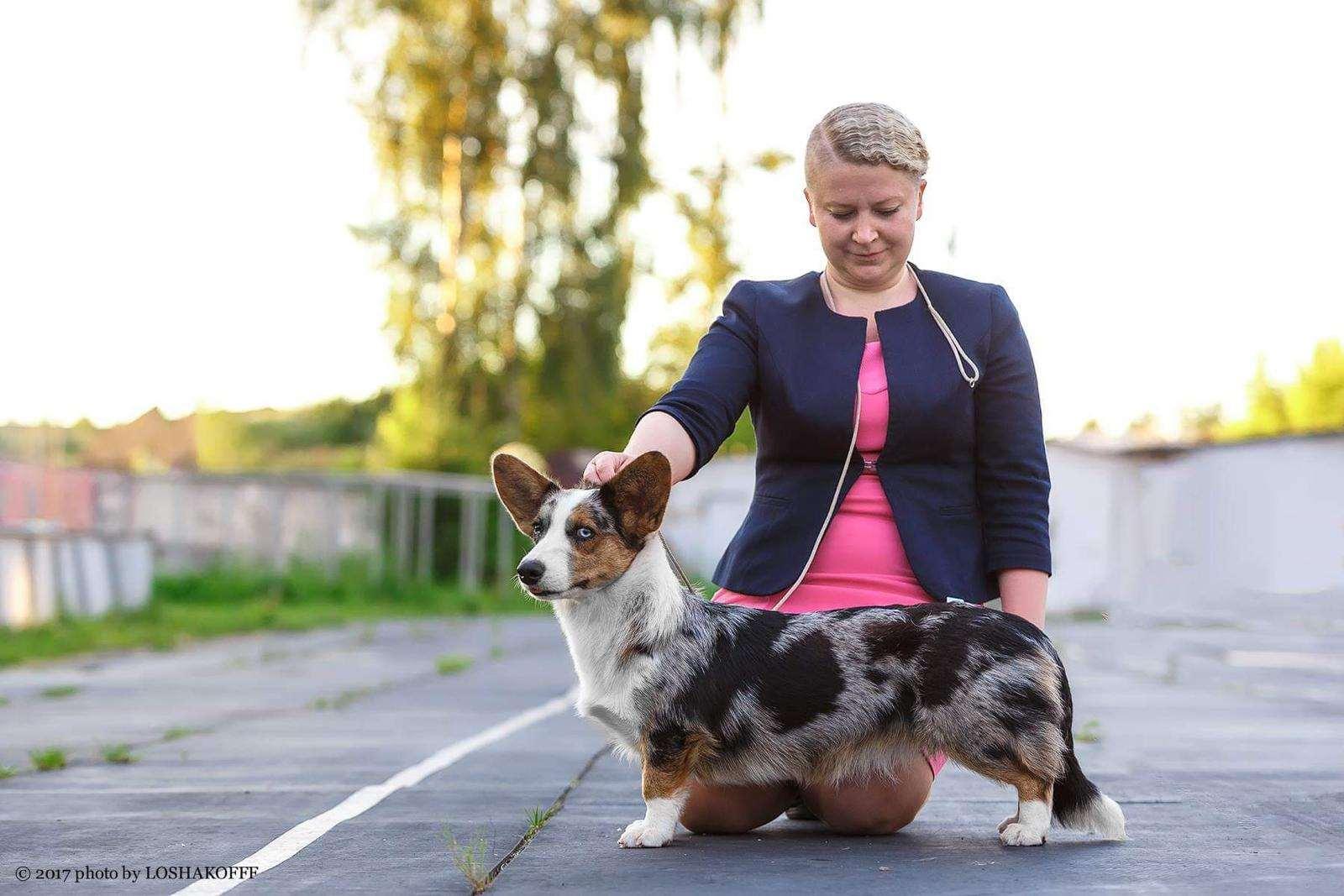 כלבים - וולש קורגי קרדיגן