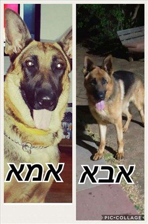 כלבים רועה גרמני אילת