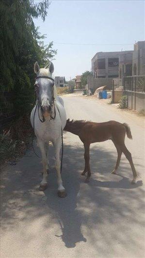 סוסים ערבי