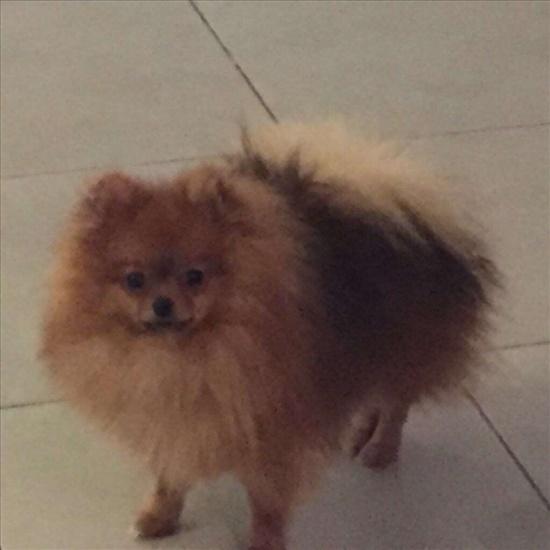 כלב מסוג פומרניאן