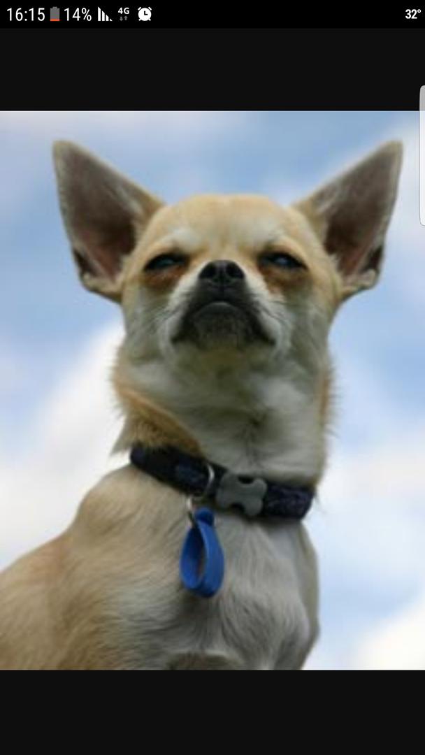 כלבים - צ`יוואווה