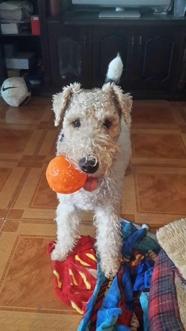 כלבים - פוקס טרייר