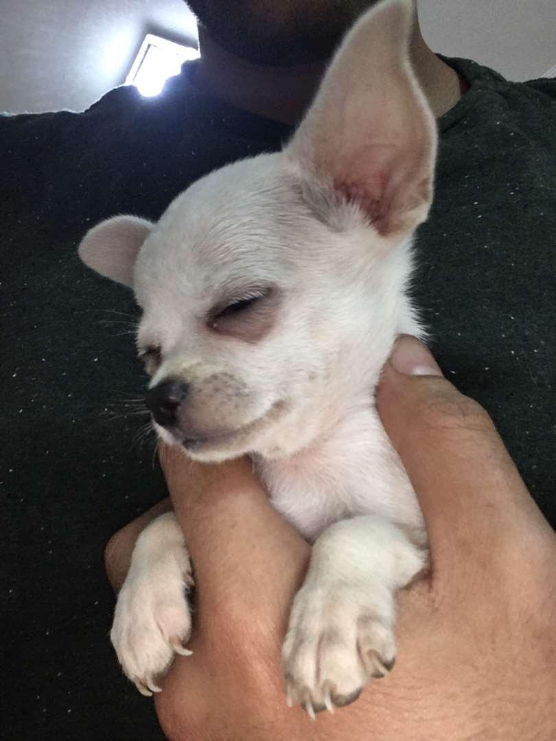 כלבים צ`יוואווה