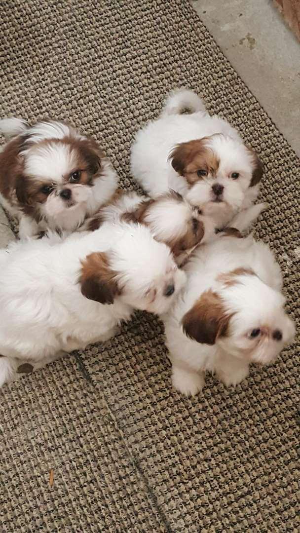 כלבים - שי צו