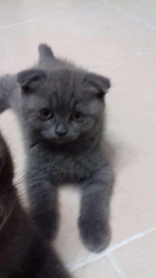 תוספת Scotish Fold למכירה בכרמיאל, 1500 שח, מודעה 70450 | חתולים - לוח WO-69