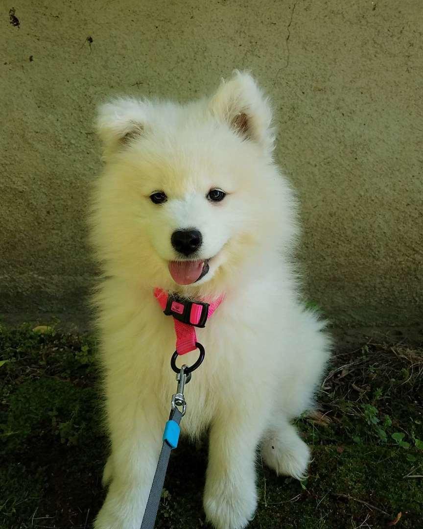 כלבים - סמויד