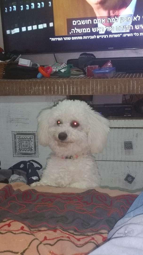כלבים - בישון פריזה