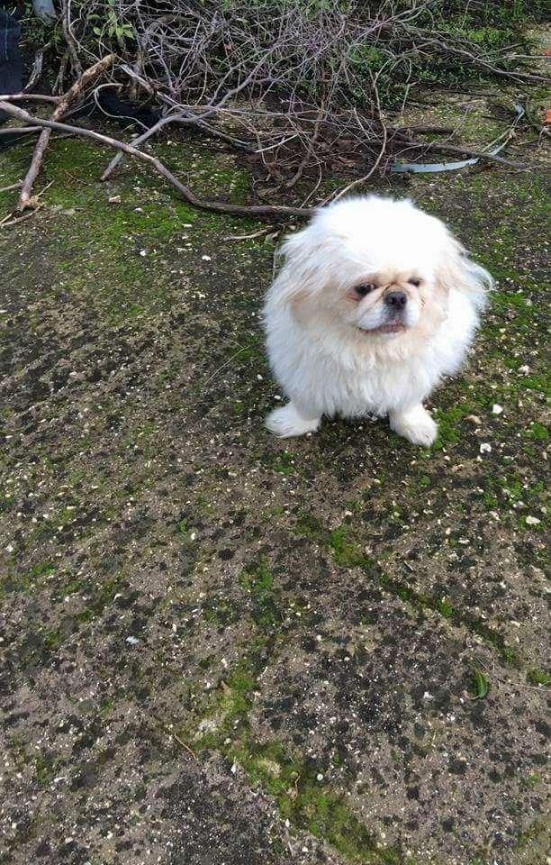 תמונה 2 ,כלבים פקינז   סקאי למכירה בראשון לציון