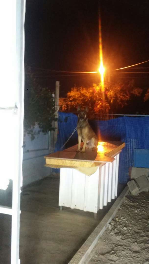 כלבים - רועה בלגי