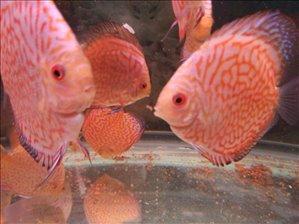 דגים דגי מים קרים