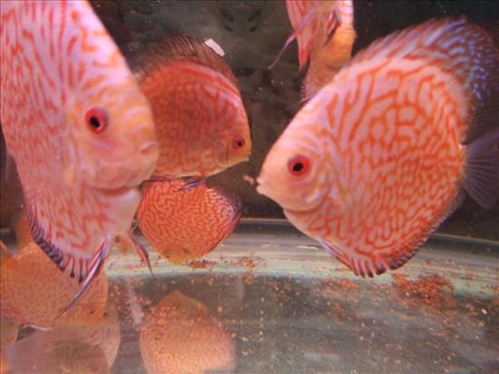 דיסקוסים דגים - דגי מים קרים
