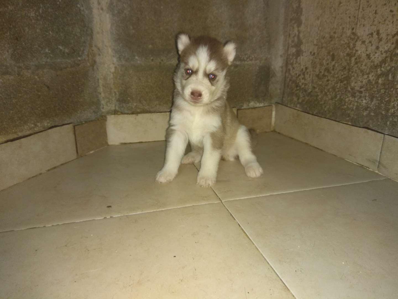 כלבים - האסקי סיביר