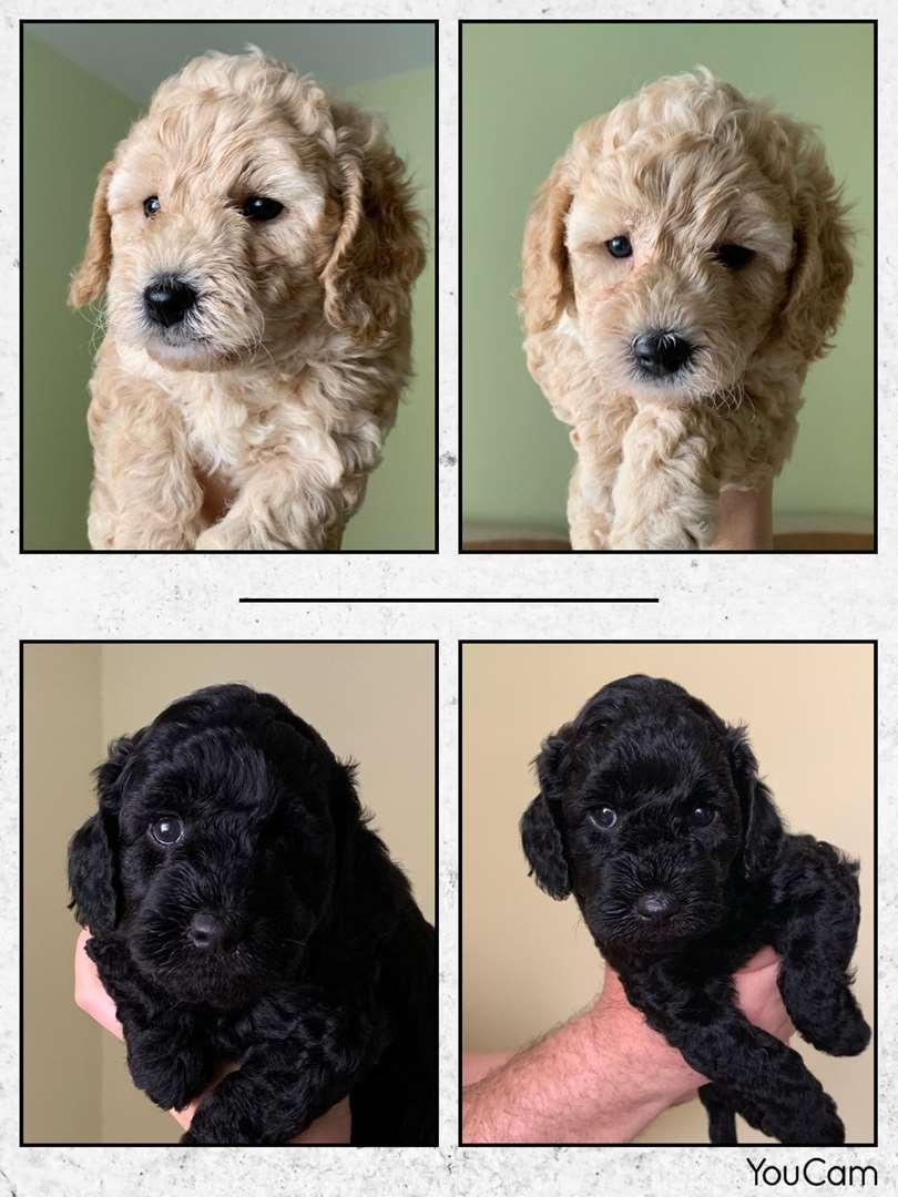 כלבים - פודל